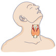 thyroid gland in the human body