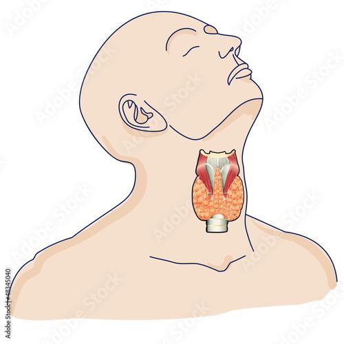 thyroid gland in the human body