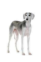 Saluki dog standing on white background