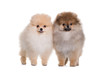 Two spitz puppy, standing on a white background