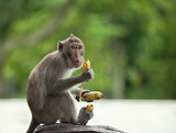 monkey holds three bananas