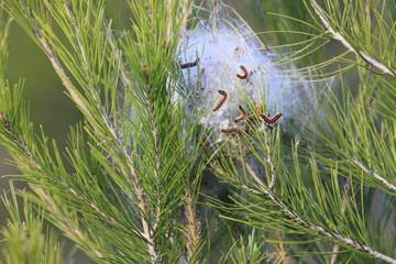 nid de chenilles sur un pin