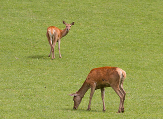 Female red deer grazing.