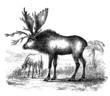 Prehistoric Animal : Sivatherium (Pliocene)
