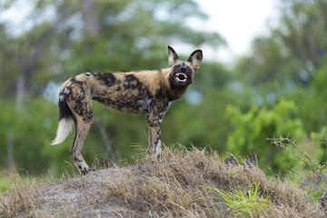 'Evil' African Wild Dog
