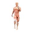 Sprinter, Läufer, Musekl Anatomie 3D
