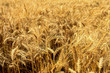 wheat fields in summer