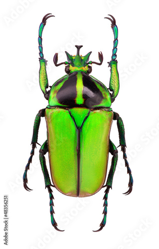 Male of Neptunides polychrous flower beetle - Tanzania