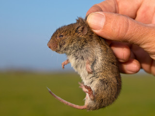 Field vole (Microtus agrestis) kept in hand by researcher