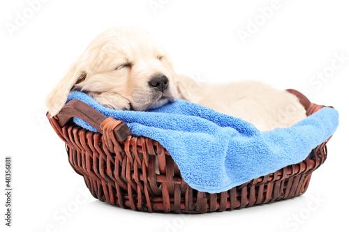 Retriver puppy dog sleeping in a basket