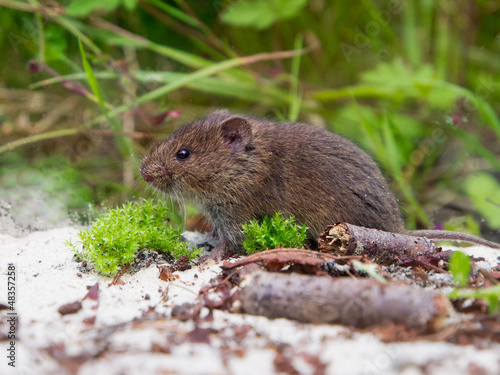 Common Vole (Microtus arvalis) in natural habitat