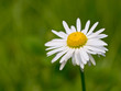 Beautiful daisy flower in the field
