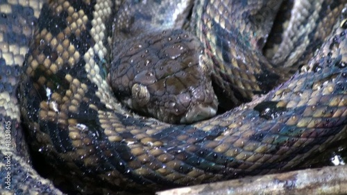 amethystine python close up