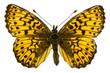 Boloria (Clossiana) titania (Titania's Fritillary)