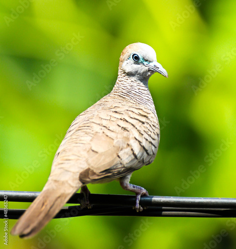 Dove on the wire