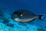 Sohal surgeonfish in the Red Sea, Egypt.