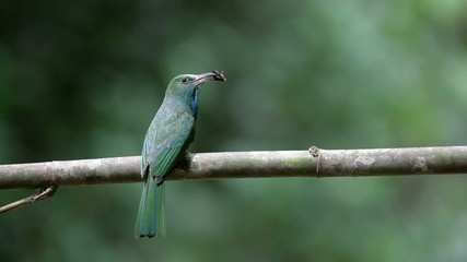 Blue-beared Bee-eater on branch , thailand.