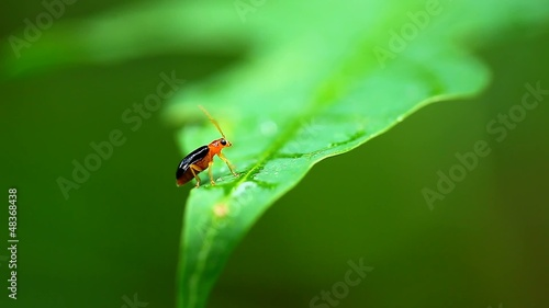 Black Flea Beetle on green leaf,thailand