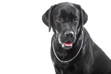 Portrait of black labrador retriever dog on isolated white