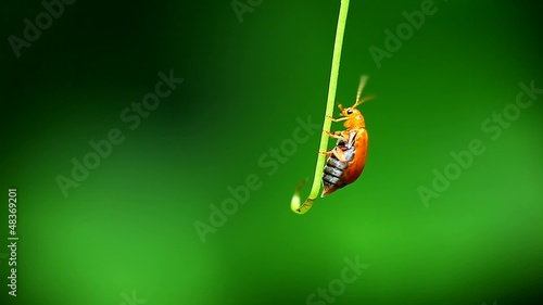 Lovely Cucurbit Leaf Beetle from thailand