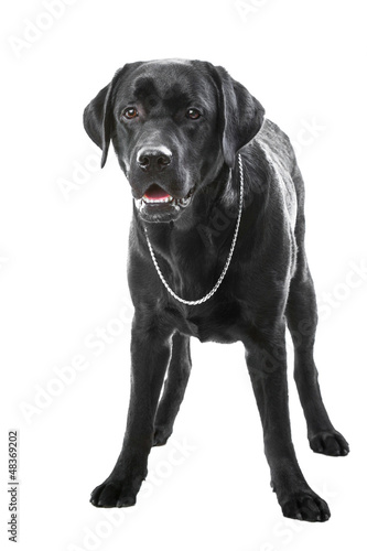 black labrador retriever dog lying on isolated white