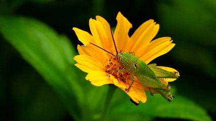Grasshopper eating flower,thailand