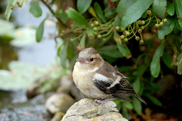 Young chaffinch standing alone on rock