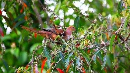 Little cuckoo dove eating on branch, thailand