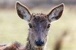 wild doe head
