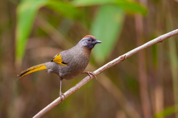 Chestnut-crowned Laughingthrush on branch,thailand