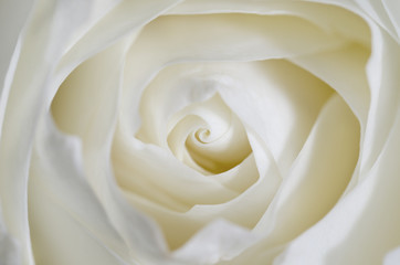 Background with close up of a white rose