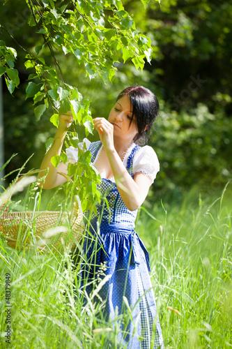 Frau pflückt Lindenblüten (Tilia grandifolia)