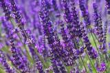 Fototapety Lavendel - lavender 79