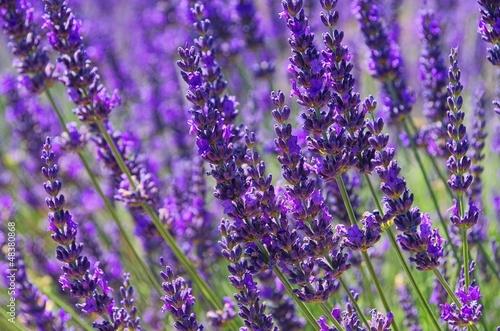Lavendel - lavender 79 - 48380868