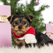 Yorkshire Terrier sitting and wearing a Christmas scarf