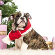 English Bulldog puppy sitting and wearing a Christmas scarf