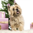 Cairn Terrier standing in front of Christmas decorations