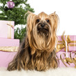 Yorkshire Terrier sitting in front of Christmas decorations