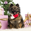 Pomeranian sitting and wearing a Christmas scarf