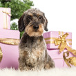 Dachshund sitting in front of Christmas decorations