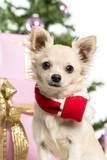 Chihuahua sitting and wearing a Christmas scarf