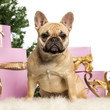 French Bulldog sitting in front of Christmas decorations