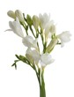 white flowers of freesia
