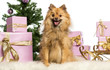 Pomeranian sitting in front of Christmas decorations