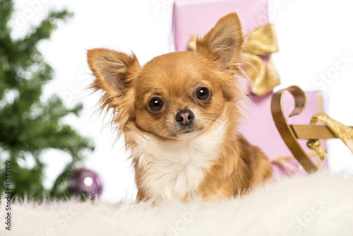 Chihuahua lying in front of Christmas decorations