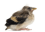 Side view of an European Goldfinch chick, Carduelis carduelis