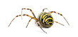 Rear view of a Wasp Spider, Argiope bruennichi