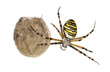 Wasp Spider, Argiope bruennichi, hanging next to its egg sack