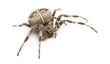 European garden spider against white background