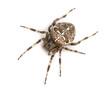 Top view of an European garden spider